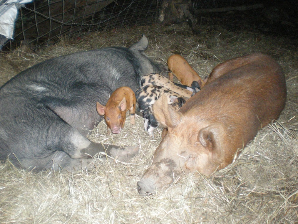 Lucky The Boar and Quinn The Sow relax with their Piglets
